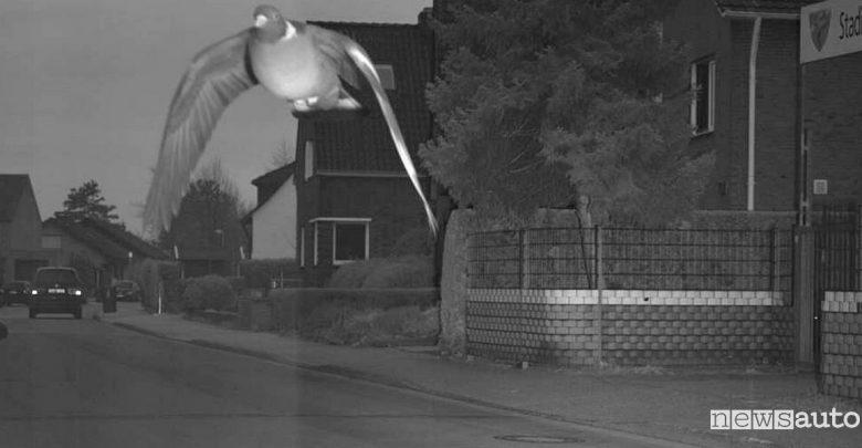 """Piccione """"spericolato"""", vola troppo veloce e fa scattare l'autovelox"""